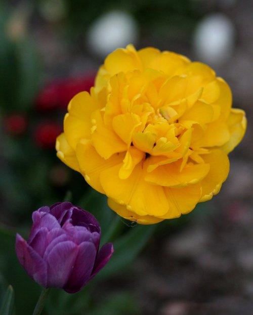 tulip  yellow  mov