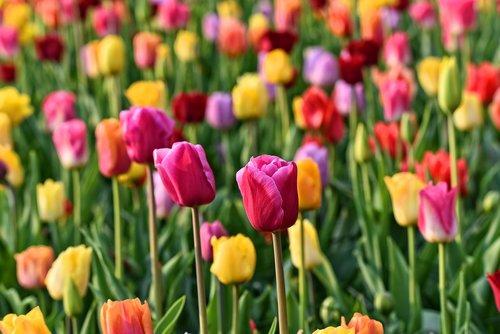 tulip  flower  plant