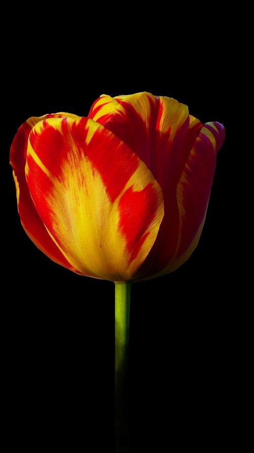 tulip  nature  no person