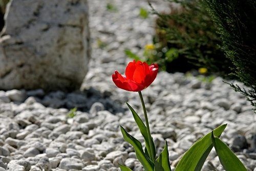 tulip  bloom  stone garden