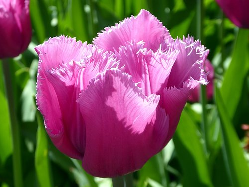 tulip  flower  spring