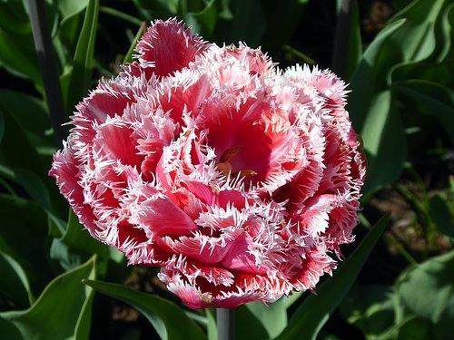 tulip  flower  pink