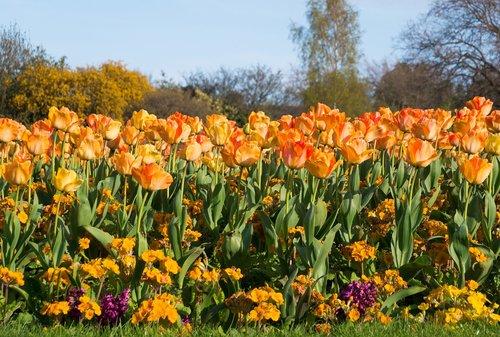 tulip  spring  flower