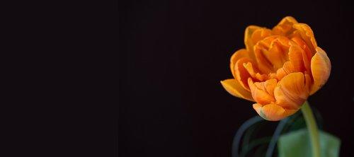 tulip  orange  orange tulip