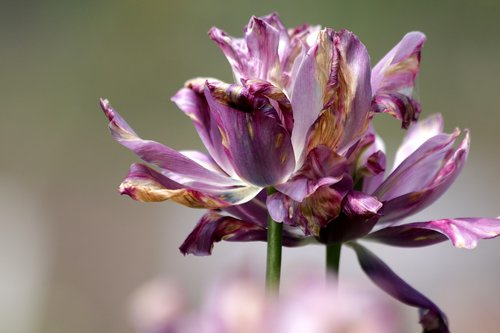 tulip  lilac tulip  flower