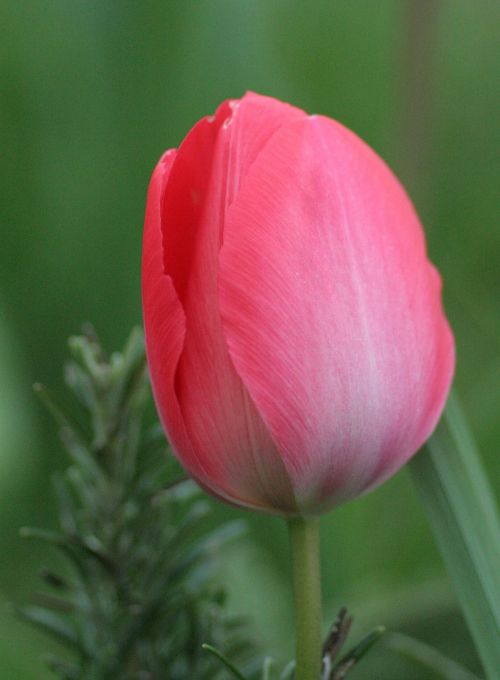 tulip red green