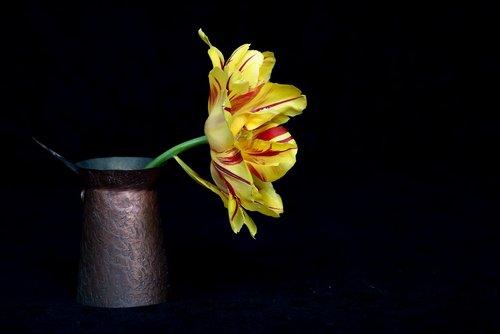 tulip  yellow  bi color