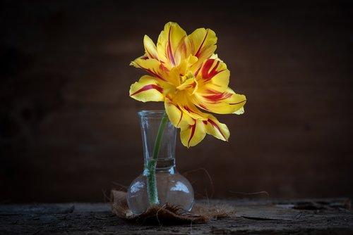 tulip  yellow  flower