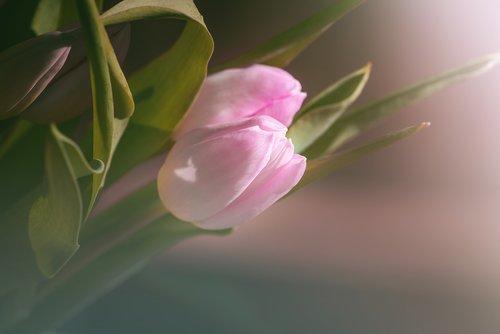 tulip  pink  tulips pink