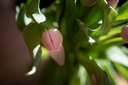tulip  pink  flower