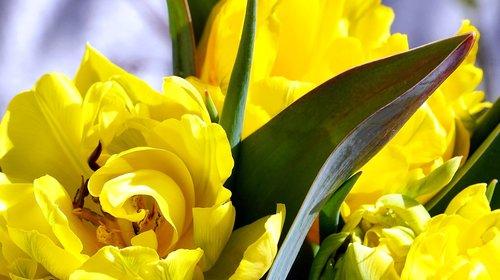 tulip  yellow  blossom