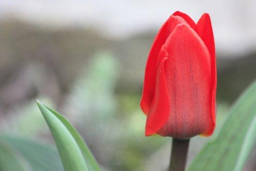 tulip  nature  flowers