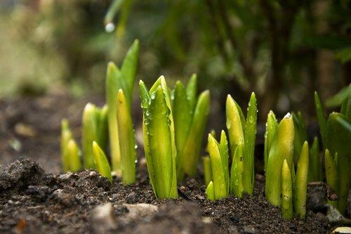 tulip  green  spring