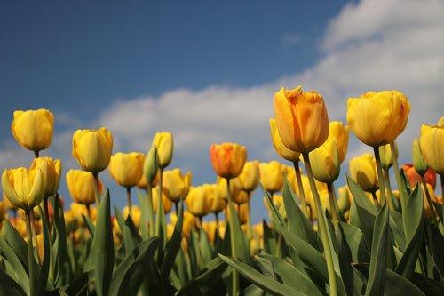 tulip  field  bulbs