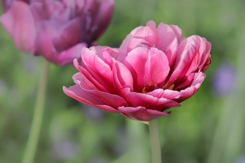tulip  tulipa  schnittblume