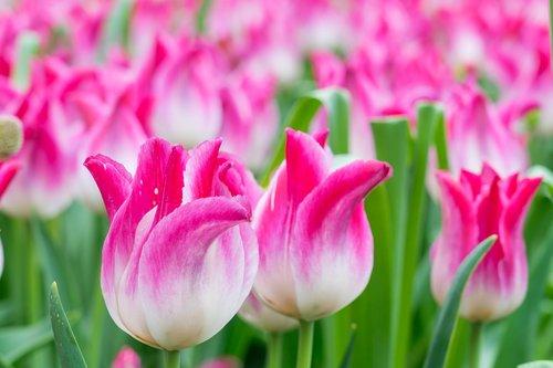 tulip  tulip field  macro