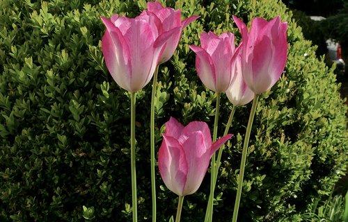 tulip  flower  violet