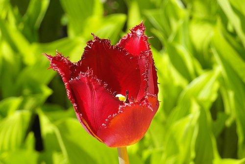 tulip  jagged  fryzowany