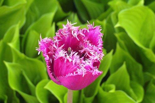 tulip  jagged  wielopłatkowy