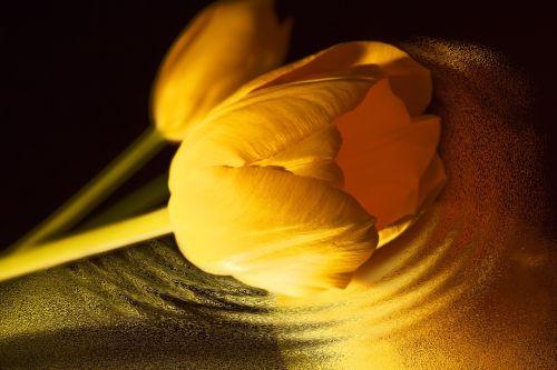 tulip yellow flowers