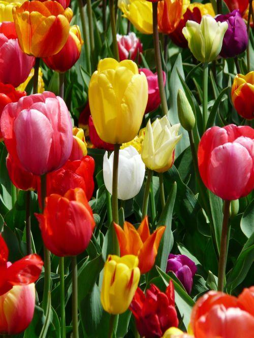 tulip yellow yellow tumor