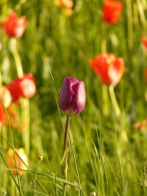 tulip light back light