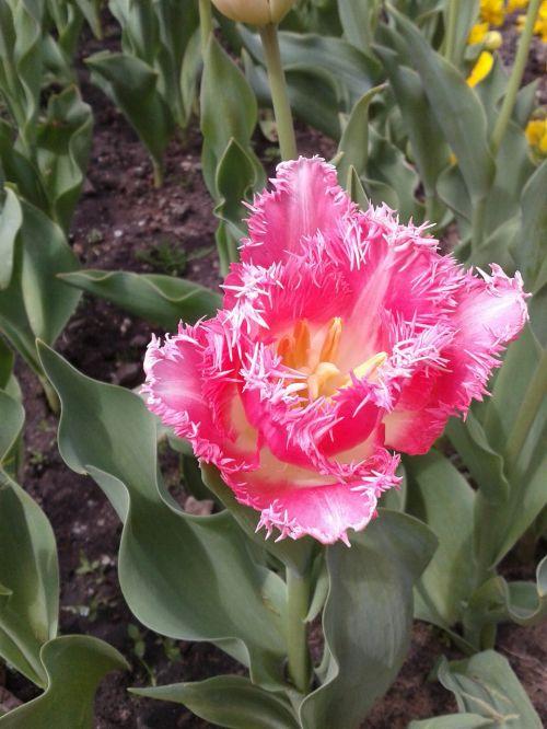 tulpė,gėlė,gėlės
