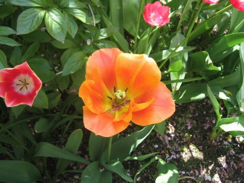 tulip blossomed nature