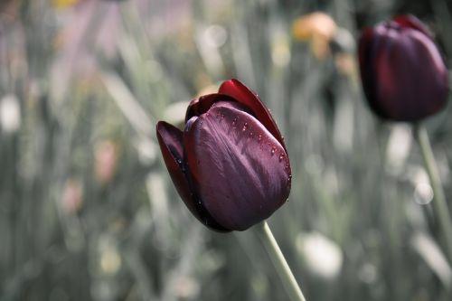 tulip flower drip