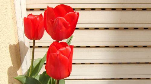 tulip,red,spring