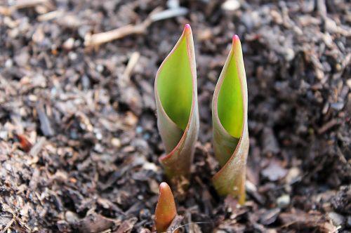 tulip bulb emerge