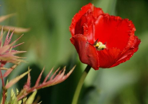 tulip red flower red tulip