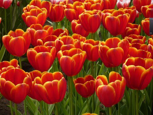 tulip keukenhof spring