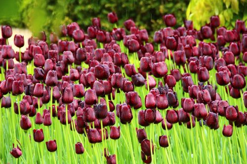 tulip flowers park