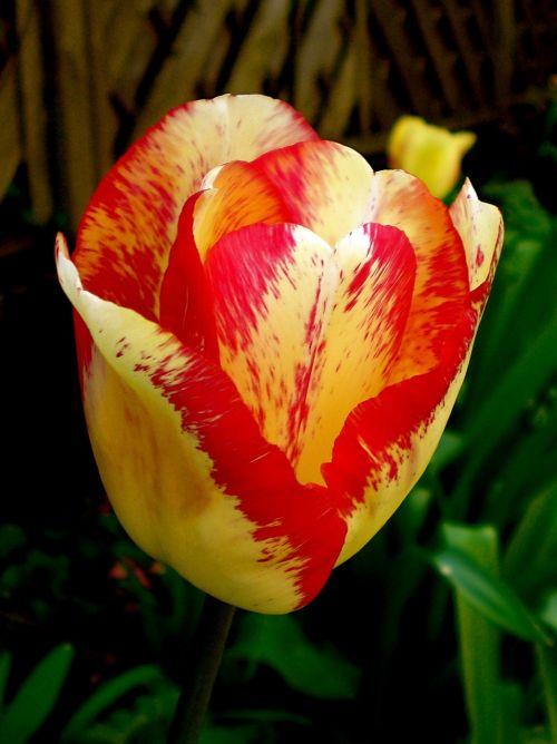 tulip yellow red