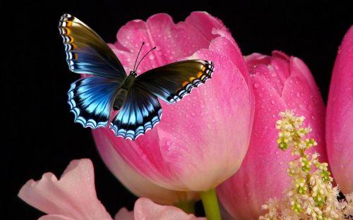 tulip flower butterfly