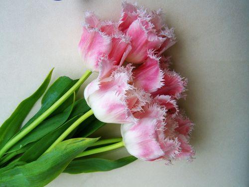 tulpių puokštė,blyškiai rožinė,supjaustytos gėlės