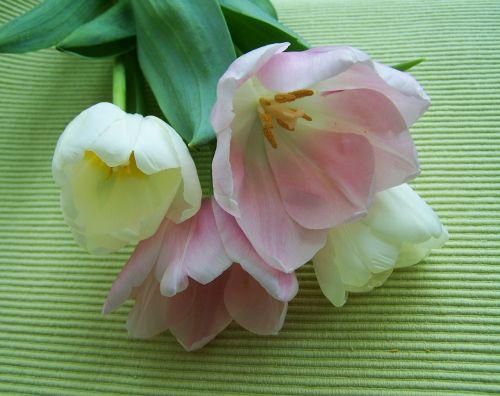 tulpių puokštė,rausvai balta,supjaustytos gėlės