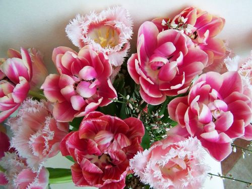 tulpių puokštė,rožinės tulpės,supjaustytos gėlės