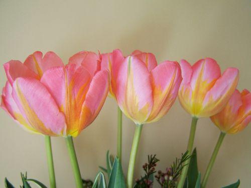 tulpių puokštė,gelsvai rausva,supjaustytos gėlės