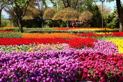 tulpių festivalis,praėjimo tulpės,tulpių sodas,konya,pavasaris