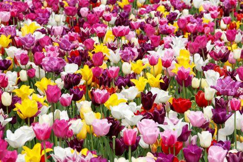 tulip field holland dutch