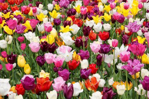 tulpių laukas,tulpės,tulpenbluete,pavasaris,tulpių laukai,gėlių sritis,valstijos sodo šou,holland,olandų