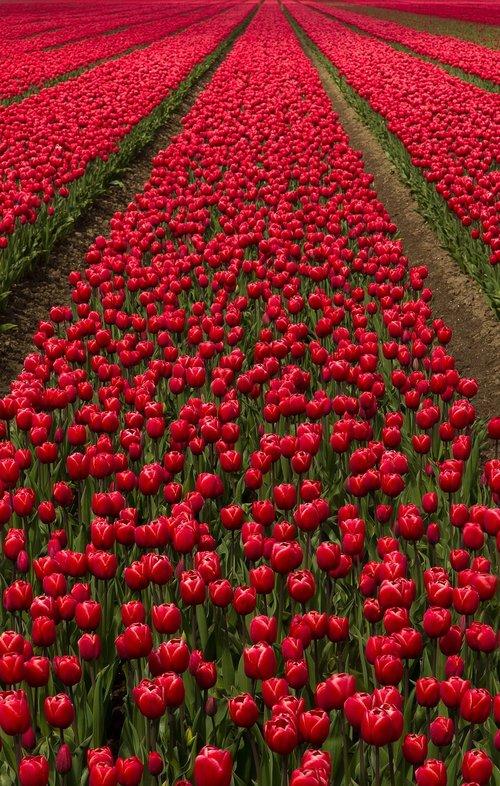 tulip field  flowers  bulbs