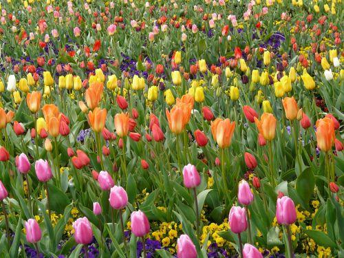tulip field tulpenbluete colorful