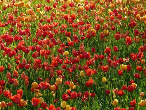 tulip field back light light