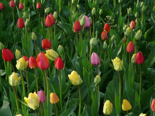 tulip field tulips meadow
