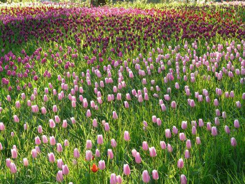 tulip field tulips pink