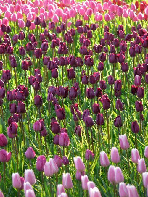 tulip field tulips violet