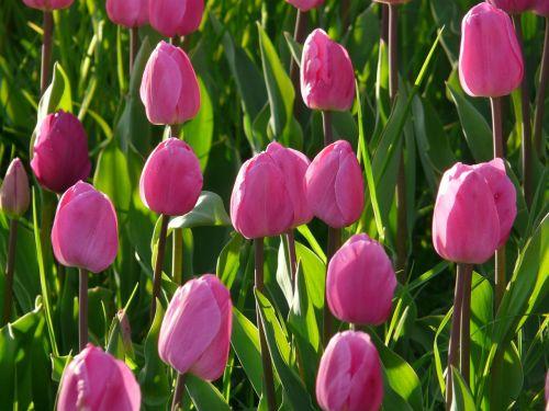 tulpių laukas,tulpės,rožinis,šviesiai rožinė,švelnus,uždaryta,į,tulpenbluete,gėlės
